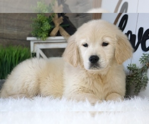 Golden Retriever Puppy for Sale in WEST PLAINS, Missouri USA