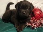 Small #26 Labrador Retriever