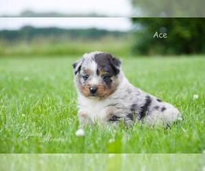Australian Shepherd Puppy for sale in CLARE, MI, USA