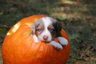 ADSR Toy Australian Shepherds