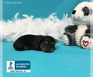 Yorkshire Terrier Puppies for Sale near Mississippi USA
