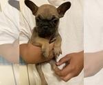 Puppy 1 French Bulldog