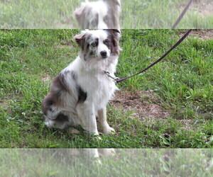 Father of the Miniature Australian Shepherd puppies born on 05/03/2020