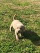 Labrador Retriever Puppy For Sale near 77984, Dreyer, TX, USA