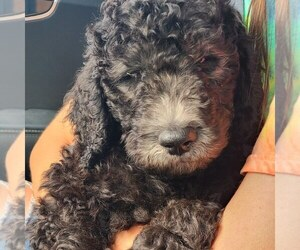 Goldendoodle Puppy for Sale in MAGNOLIA SQ, Florida USA