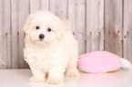 Maltichon Puppy For Sale in MOUNT VERNON, OH, USA