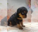 Puppy 11 Rottweiler