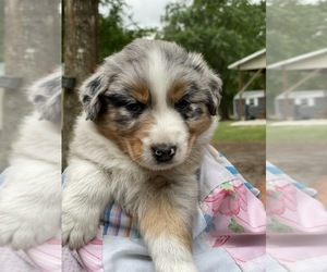 Australian Shepherd Puppy for Sale in WELLBORN, Florida USA