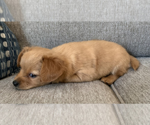Chiweenie Puppy for Sale in CLOVER, South Carolina USA