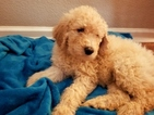 Goldendoodle Puppy For Sale in ANTELOPE, California,