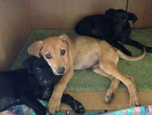 Labrador Retriever-Unknown Mix Dogs for adoption in BROADDUS, TX, USA