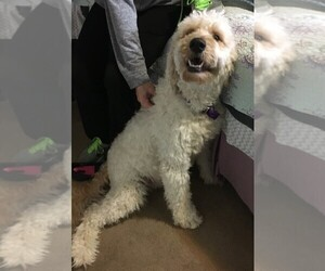 Mother of the Goldendoodle puppies born on 11/14/2019