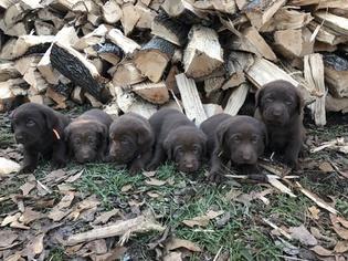Labrador Retriever Puppy for sale in CARTERSVILLE, GA, USA