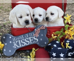 Labrador Retriever Puppy for sale in GLENDALE, CA, USA
