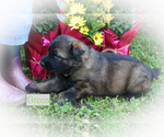 Puppy 3 German Shepherd Dog