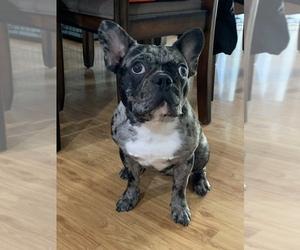 French Bulldog Puppy for Sale in GILBERT, Arizona USA