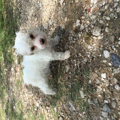 Poodle (Miniature) Puppy for sale in HOUSTON, TX, USA