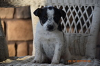 Fox Terrier (Smooth)-Havanese Mix Puppy For Sale in FREDERICKSBURG, OH, USA