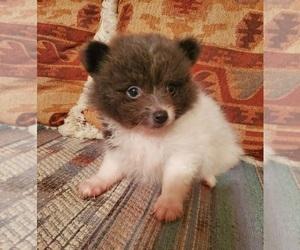 Pomeranian Puppy for Sale in NOCONA, Texas USA