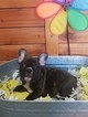 French Bulldog Puppy For Sale in MURRIETA, CA, USA
