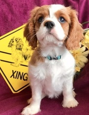 Cavalier King Charles Spaniel Puppy For Sale in LEICESTER, NC, USA