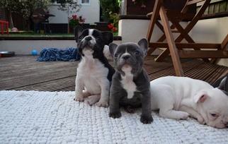 Bulldog Dog For Adoption in SEATTLE, WA, USA