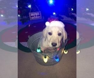 Labrador Retriever Puppy for sale in VALLEY MILLS, TX, USA