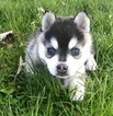 Toy Blue Eyed Alaskan Klee Kai
