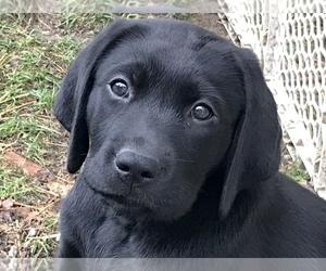 Labrador Retriever Puppy for Sale in NORWALK, Connecticut USA