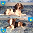 Dachshund Puppy For Sale in EAST TAWAKONI, TX