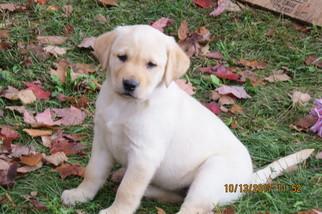 Labrador Retriever Puppy For Sale in TUSTIN, MI