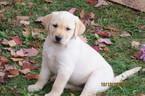 Labrador Retriever Puppy For Sale in TUSTIN, MI, USA