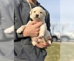 Small #1 Goberian-Golden Labrador Mix