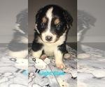 Small Photo #5 Australian Shepherd Puppy For Sale in HAMPTON, VA, USA