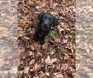 Labrador Retriever Puppy for sale in BEAVERTON, OR, USA