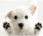 Puppy 4 West Highland White Terrier
