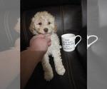 Puppy 5 Goldendoodle-Poodle (Miniature) Mix
