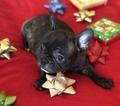 Small #5 French Bulldog