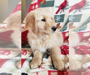 Golden Retriever Puppy for Sale in WILLOWS, California USA