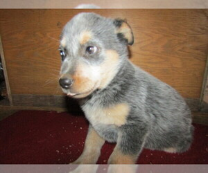 Australian Cattle Dog Puppy for sale in KALAMAZOO, MI, USA