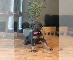 Doberman Pinscher Puppy for Sale in CONOVER, North Carolina USA