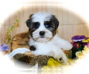 Shorkie Tzu Puppy for Sale in HAMMOND, Indiana USA