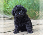 Small #4 Yorkie-Poo