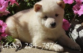 Shiba Inu Puppy For Sale in CHICAGO, IL