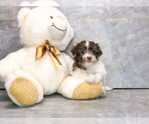 Havanese Puppy for sale in AMITY, NC, USA