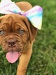 Dogue de Bordeaux Puppy For Sale in TOWNSEND, DE, USA