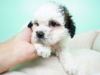 Shih-Poo Puppy For Sale in LAS VEGAS, NV, USA