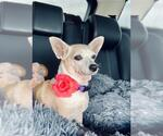 Small Photo #38 Chihuahua Puppy For Sale in Plantation, FL, USA