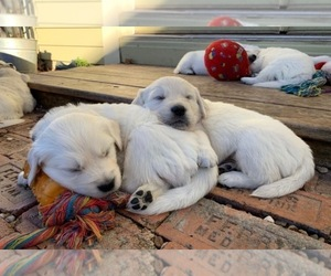 English Cream Golden Retriever Puppy for sale in MC KINNEY, TX, USA