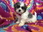 Zuchon Puppy For Sale in EAST EARL, PA, USA